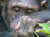 Wild chimpanzees in Mahale Mountains - Tanzania